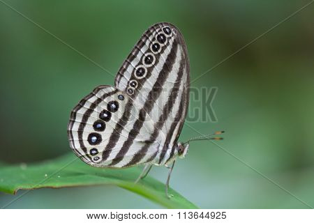 Striped Ringlet Butterfly
