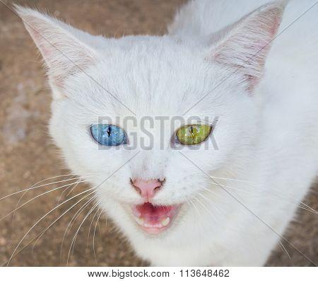 White Cat Eye Color