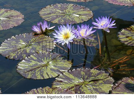 Beautiful flowers from the lily pads