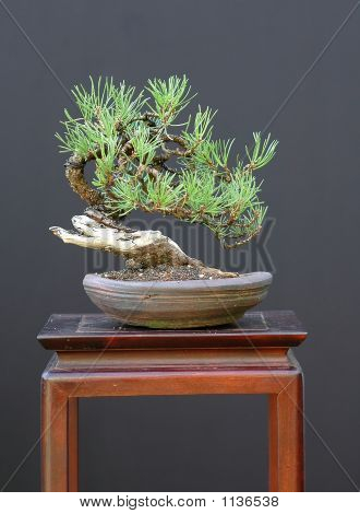 Small Scots Pine Bonsai