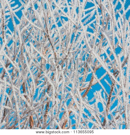 Foliage Covered In Hoar Frost