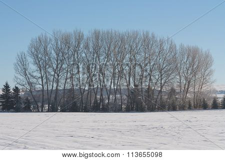 Tree Grove In Winter