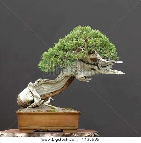Rocky Mou Tian Juniper Bonsai