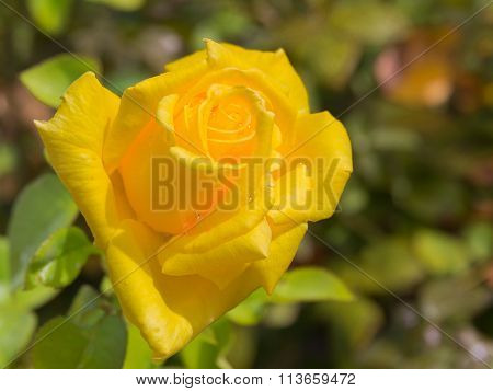 Flower Yellow Roses After Rain
