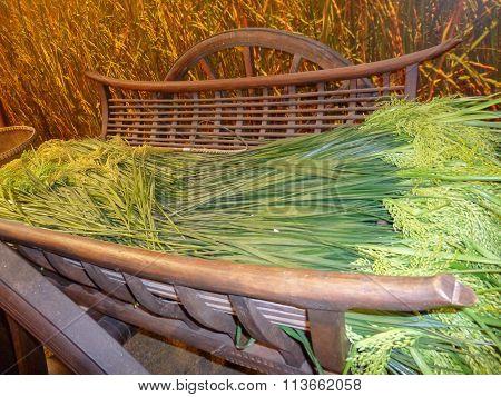 Rice Food Plant