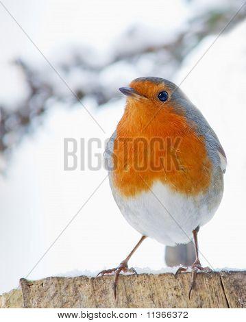 robin in snowy weather