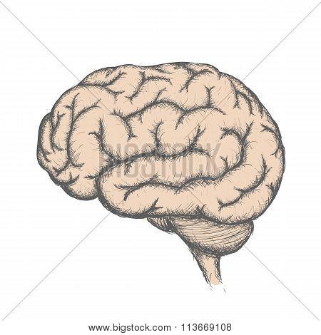 Human Brain. Stock Illustration.