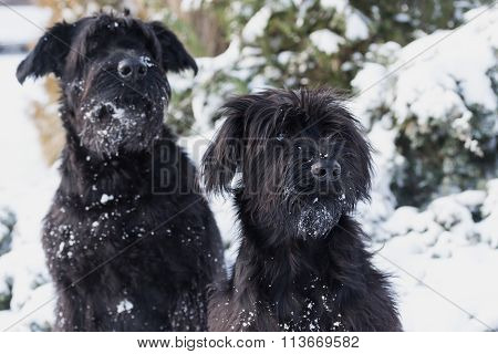 Portrait Of A Pair Of Schnauzer Dogs In Winter