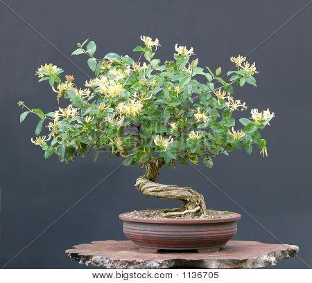 Honeysuckel Bonsai In Bloom