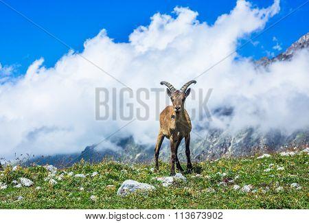 West Caucasian Tur (lat. Capra Caucasica)
