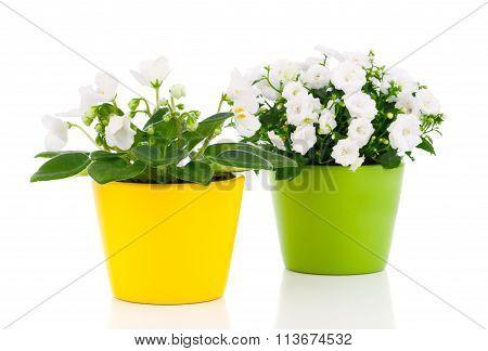 White Saintpaulia Flowers