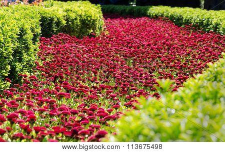 flowerbed of daisies