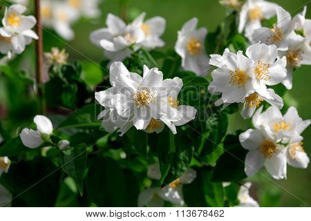 Jasmine Flowers - Background; Beautiful Jasmin Flowers In Bloom
