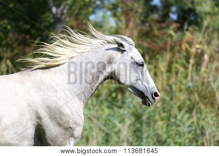 Purebred Arabian Horse Galloping Across A Green Summer Pasture