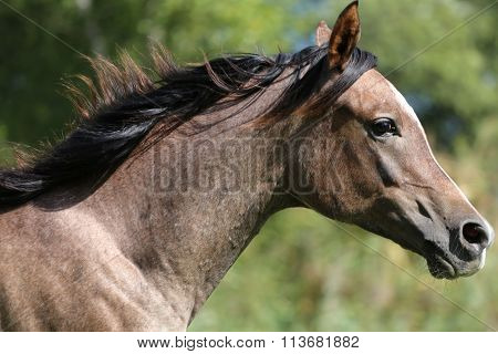 Closeup Of A Thoroughbred Arabian Mare