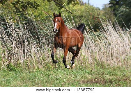 Thoroughbred Young  Arabian Stallion Canter On Summer Meadow
