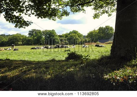 Carnac (brittany, France): Cows