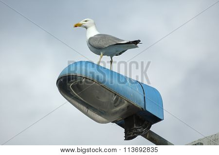 Seagull In Brittany