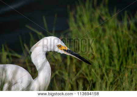 The Snowy Egret Is Fishing At Malibu Lagoon