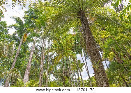 Tropical palm grove of Martinique Island
