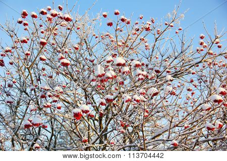 bunches of rowan in the snow