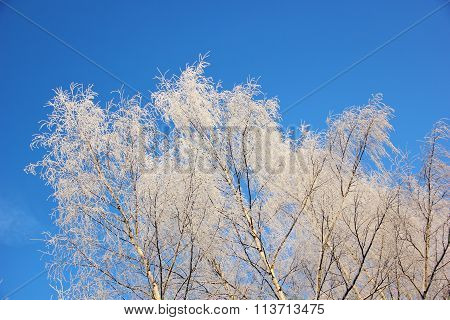 white birch in frost