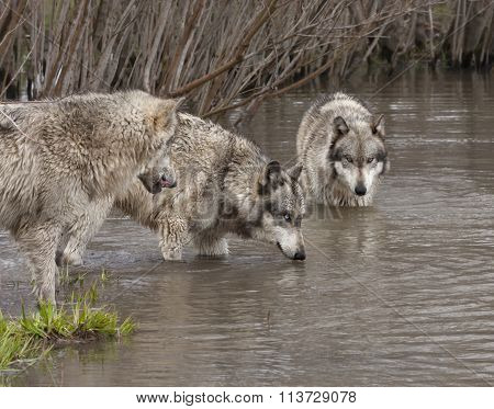 Wolves at the Watering Hole