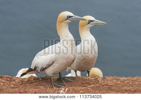 Behavior Of Wild Migrating Gannets At Island Helgoland, Germany, Summer Time