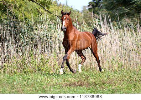 Arabian Breed Horse Galloping Across A Green Summer Pasture