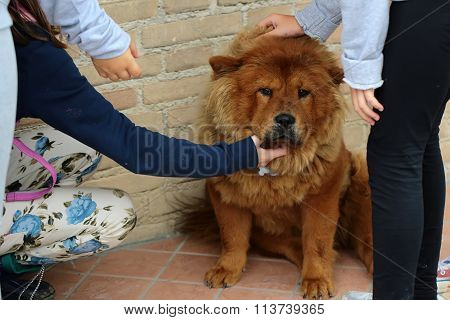 Chow Chow Dog And Children
