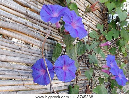 Morning glory flowers Ipomoea