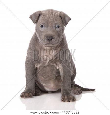 grey thai ridgeback puppy