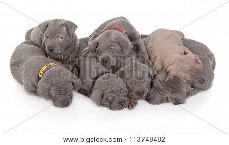thai ridgeback puppies on white