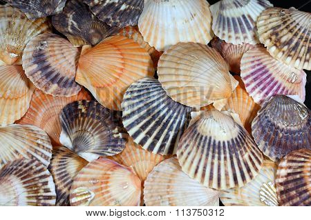 Scallop Shells