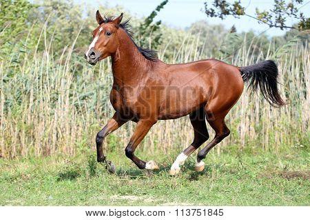 Arabian Stallion Runs Gallop Across Summer Meadow