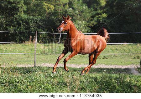 Beautiful Arabian Stallion Galloping On Summer Pasture