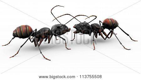 Ants Making Friends
