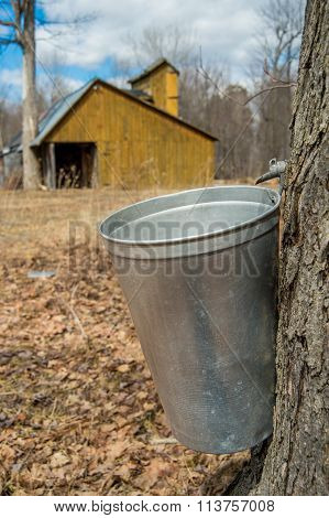Pail Used To Collect Sap Of Maple Trees To Produce Maple Syrup In Quebec, With A Sugar Shack In The