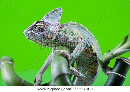 Famílias de lagarto