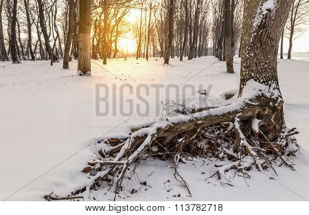 Snow On Tree Roots .winter Landscape