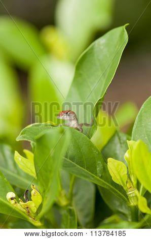 Brown Anole Lizard Behind Leaves