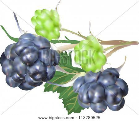 illustration with blackberry isolated on white background