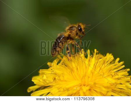 Flying Bee Over Yellow Flower