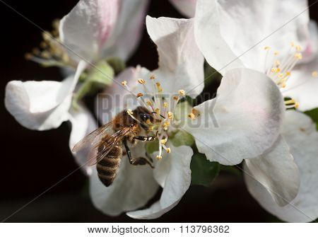 Bee On Pink Apple Flower