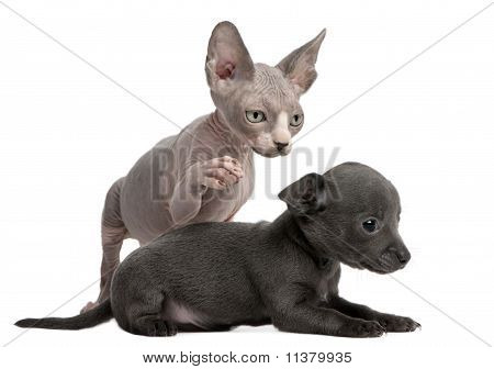 Chihuahua Puppy, 10 Weeks Old, Interacting With A Sphyx Kitten, 8 Weeks Old, In Front Of White Backg