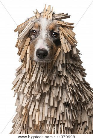 Australian Shepherd Puppy Covered With Clothespins, 5 Months Old, In Front Of White Background