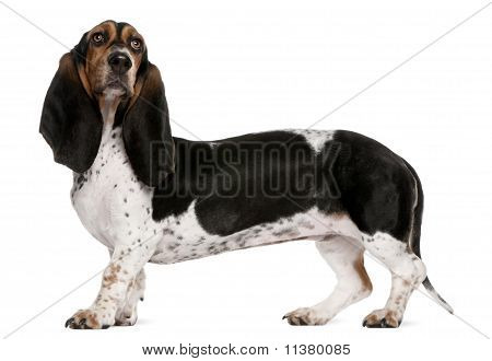Basset Artésien Normand (11 Months Old), Mixed-breed (4 Years Ol
