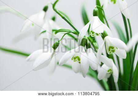 Galanthus nivalis, spring snowdrop flowers