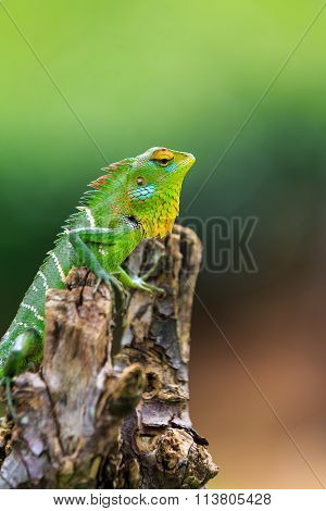 Chameleon With Red And Yellow Head