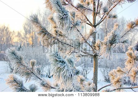pine in a fabulous winter